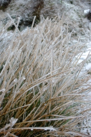 Grass encased in ice in a very hard winter