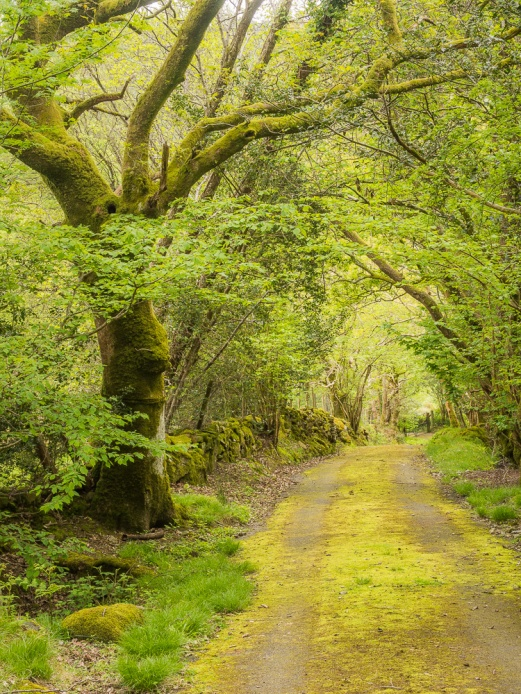 Spring foliage casts a verdant glow over this quiet welsh lane