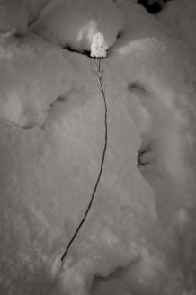 A plant stem is topped by a delicate puff of snow