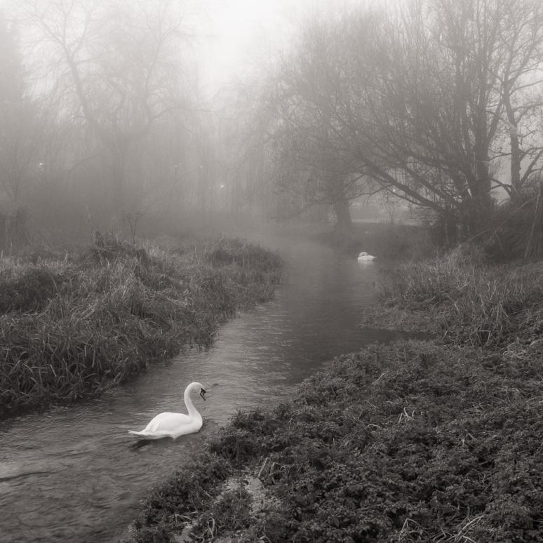 Swans on a misty winter day in Berkshire