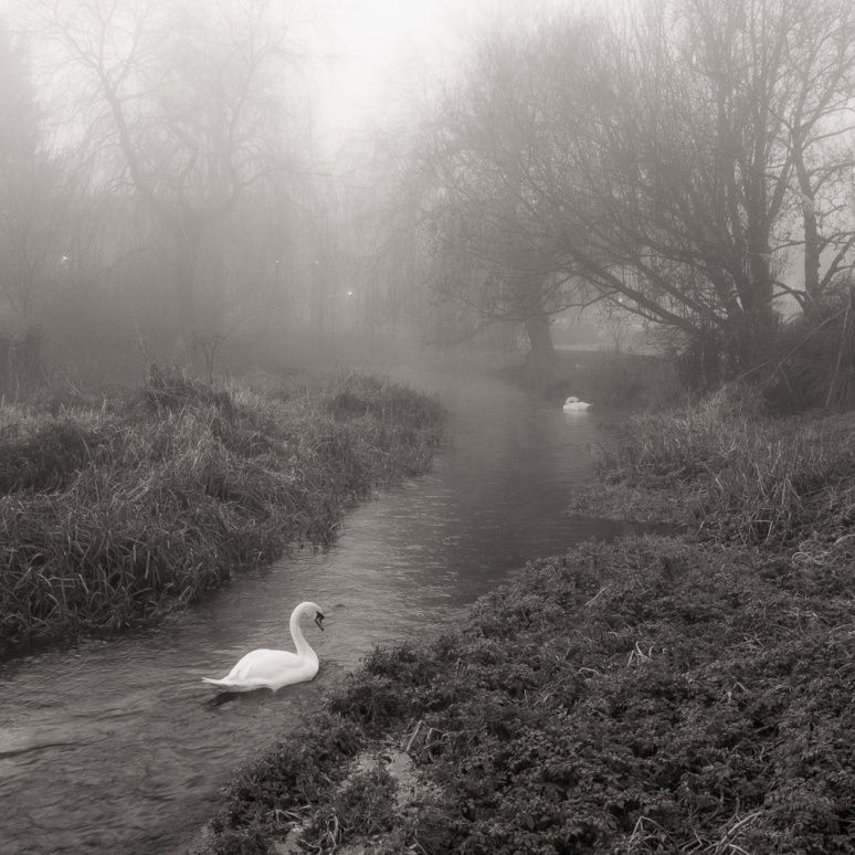 Swans on a misty winter day in Berkshire